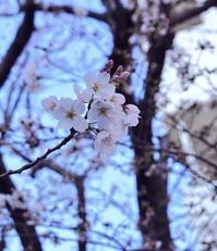 sakura.jpeg